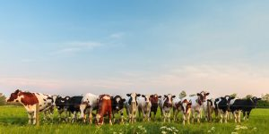 cattle news